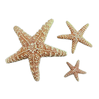 Starfish-removebg-preview.png