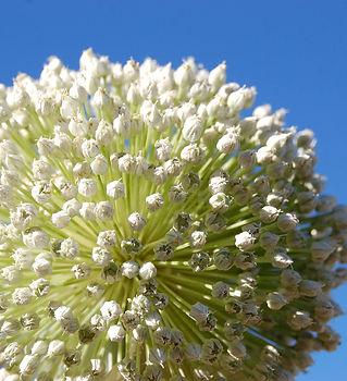 Allium flowers, this one a leek.jpg
