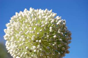 Onion Flower DDF