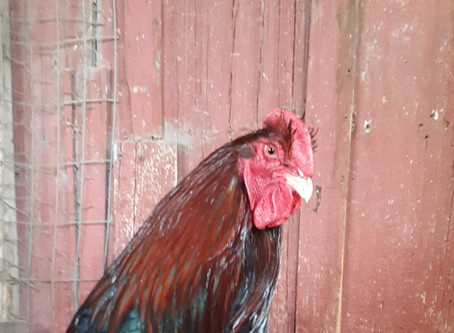 Chicken Breed Hardiness: 30 years of observation