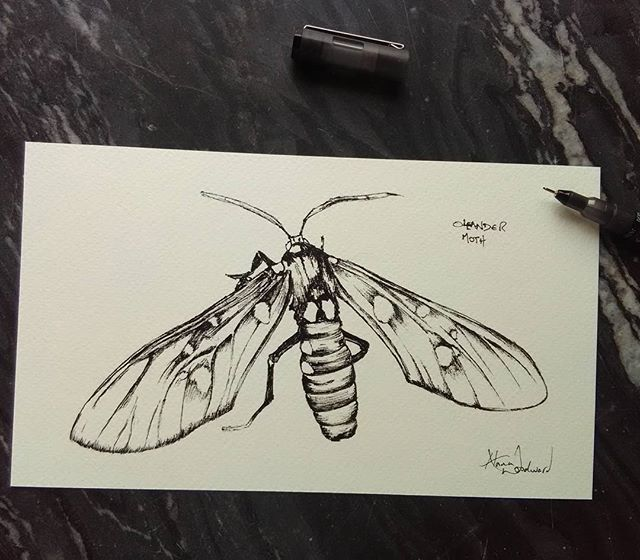 Oleander moth pen and ink sketch