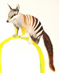 N is for.... numbat