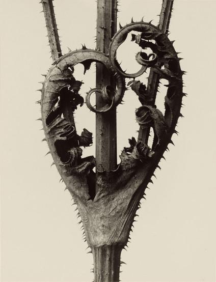 Karl Blossfeldt - Natureza Morta