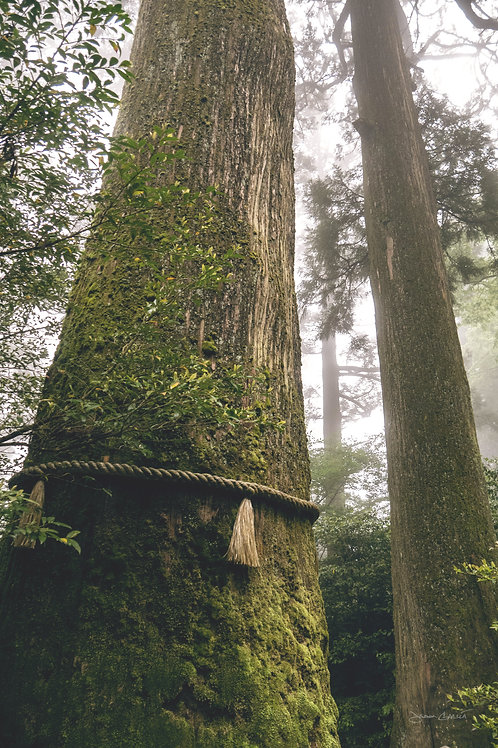 Sacred Cedar - Hakone
