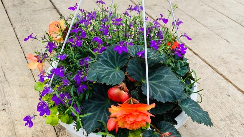 "Begonia Lobelia  12"" Basket"