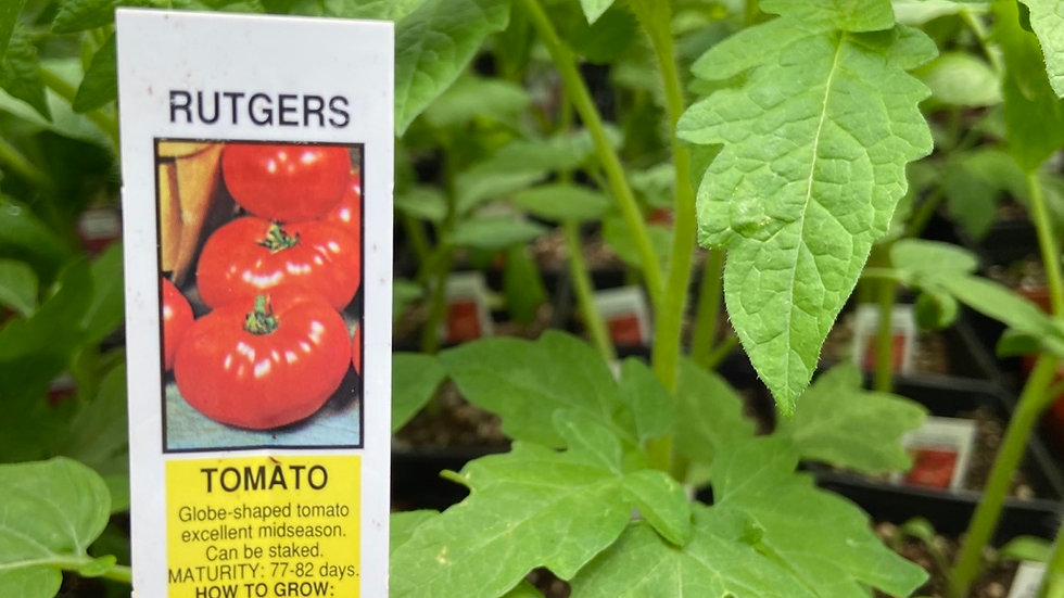 Rutgers Tomato