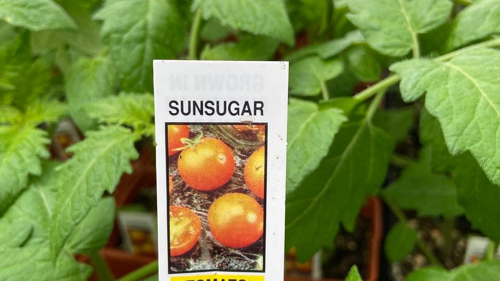 Sun sugar Tomato