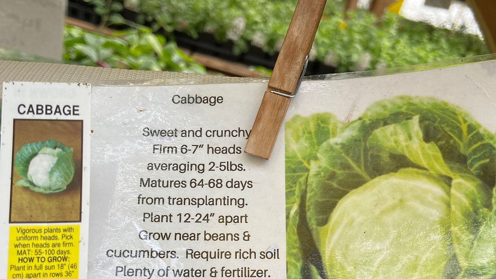 Cabbage 6 pack