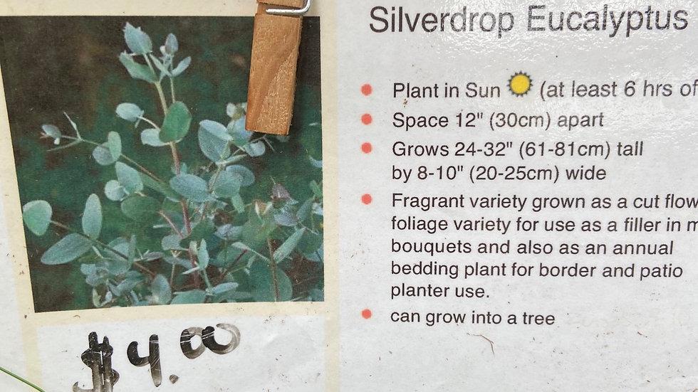 Eucalyptus  Silver Drop
