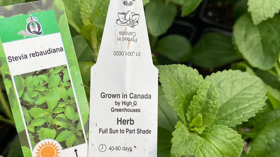 """Stevia (sugar plant) 4"""" pot"""