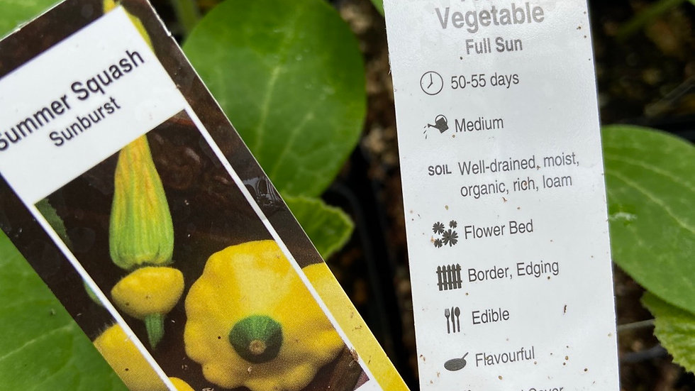 "Patty Pan sunburst squash 2.5"" pot"