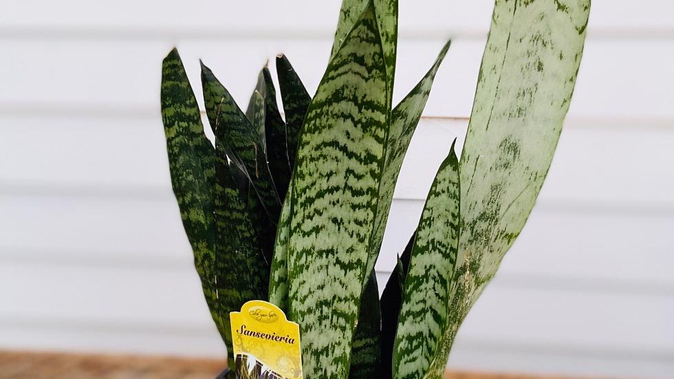 "Sanseveria Snake Plant 6"" pot"