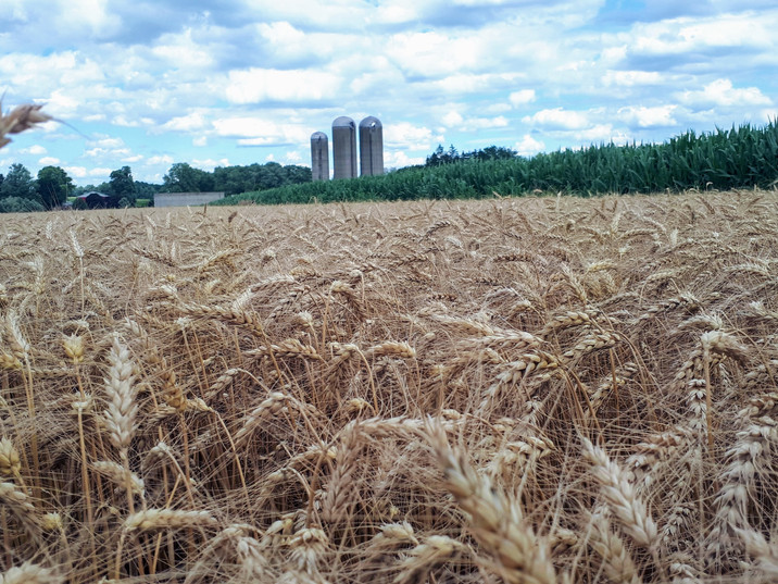 Our wheat field and silo's