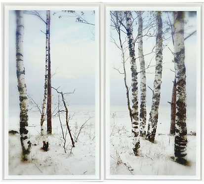 Winter Birch Scene