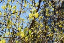 国産樹木系芳香蒸留水ークロモジ