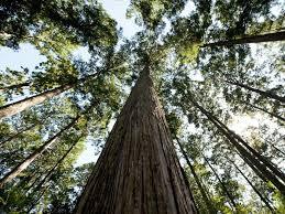 「日本の木」として親しまれているヒノキの精油