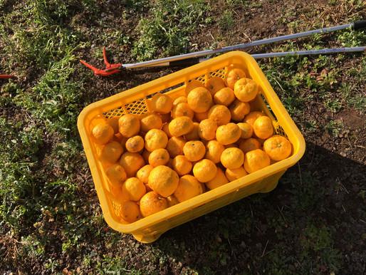 山梨県富士山麓に柚子狩りに行って来ました!