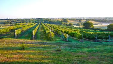 WindCrest Winery Vineyard