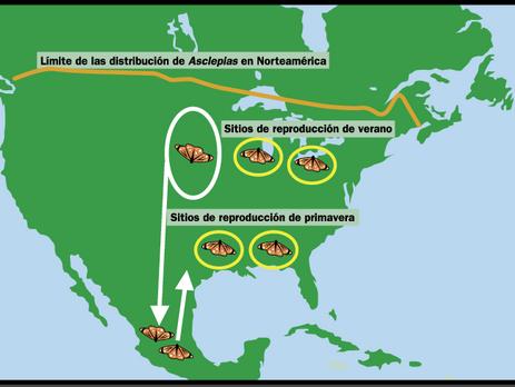 En su regreso de primavera, las mariposas Monarca toman una ruta atípica por la costa del Golfo de T