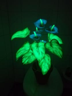 Nachtleuchtende Zimmerpflanze