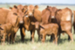 Fêmeas Red Angus da São Bibiano