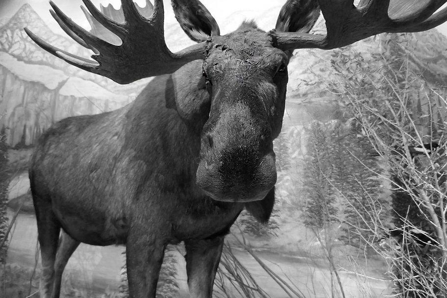 moose-bw.jpg