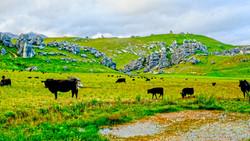 Newzealand_the last cows