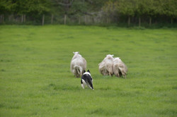 Sheepdog Auctions