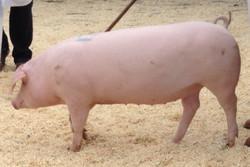 Pigs Auction