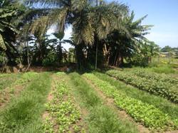 Plantations du CEP