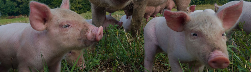 manure-swine-hero-01.jpg