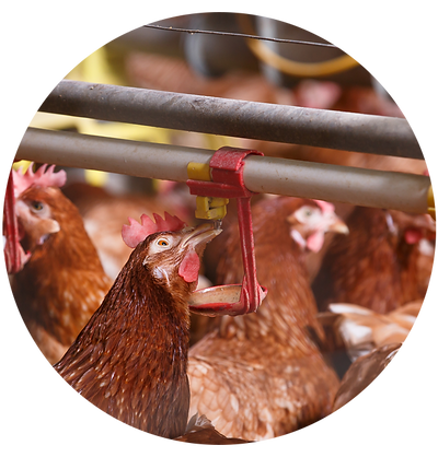 poultry-booster-section-01.png