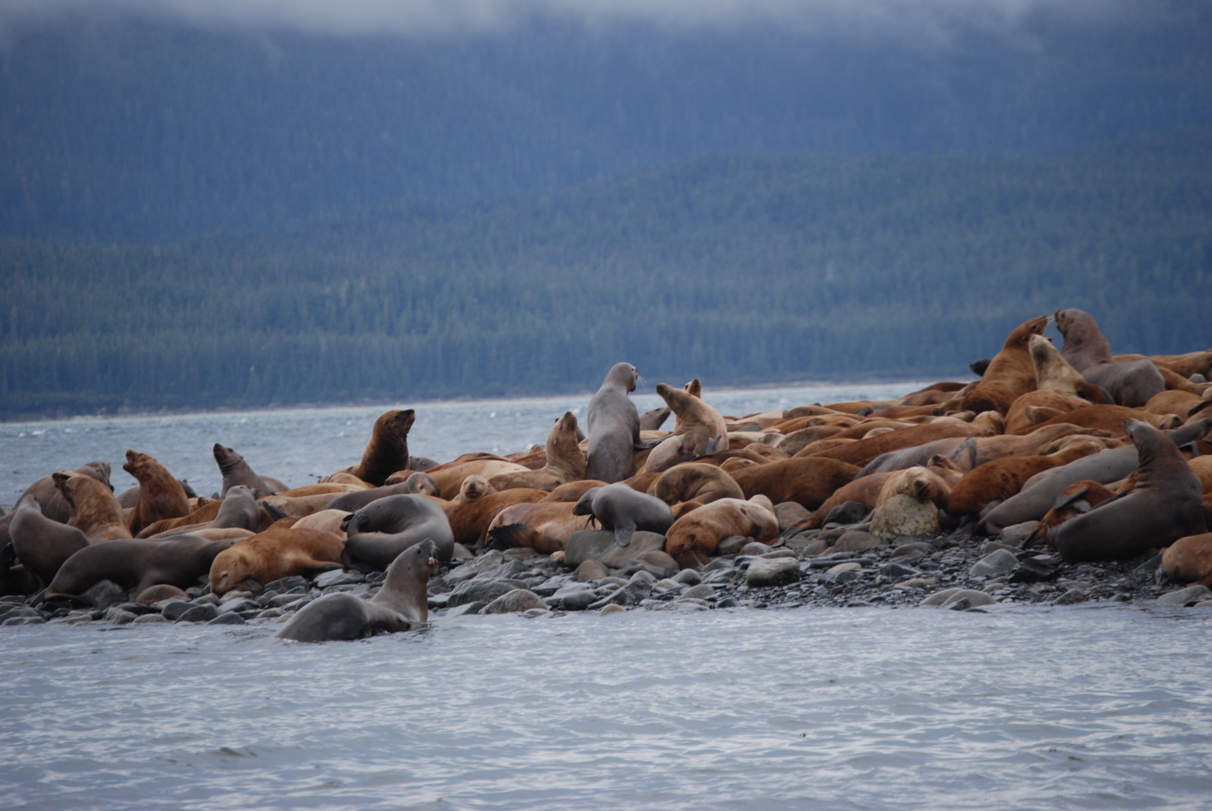 Sealions little island