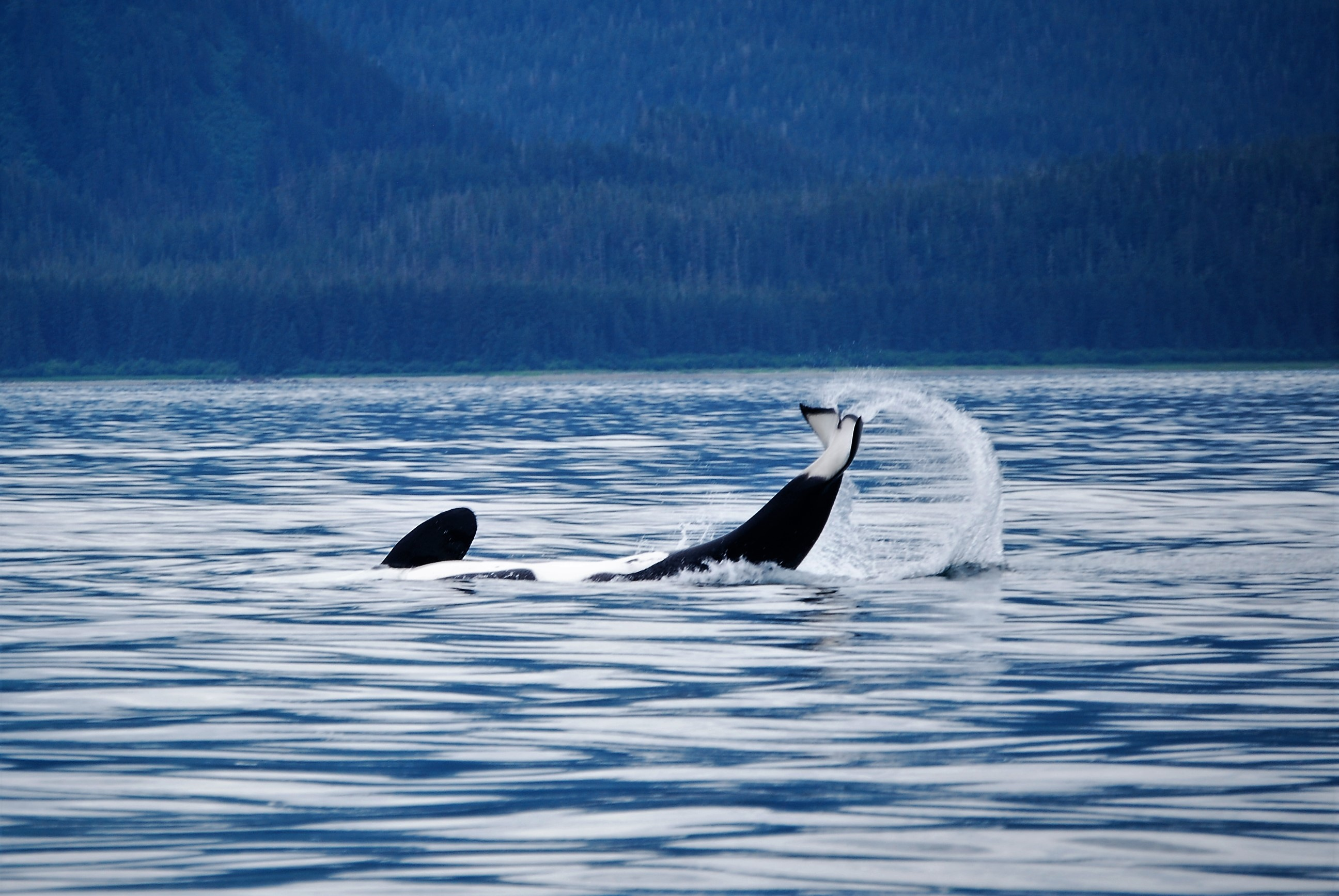 Killer Whale playing