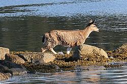 Sitka black-tail deer