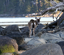Sitka black tail deer