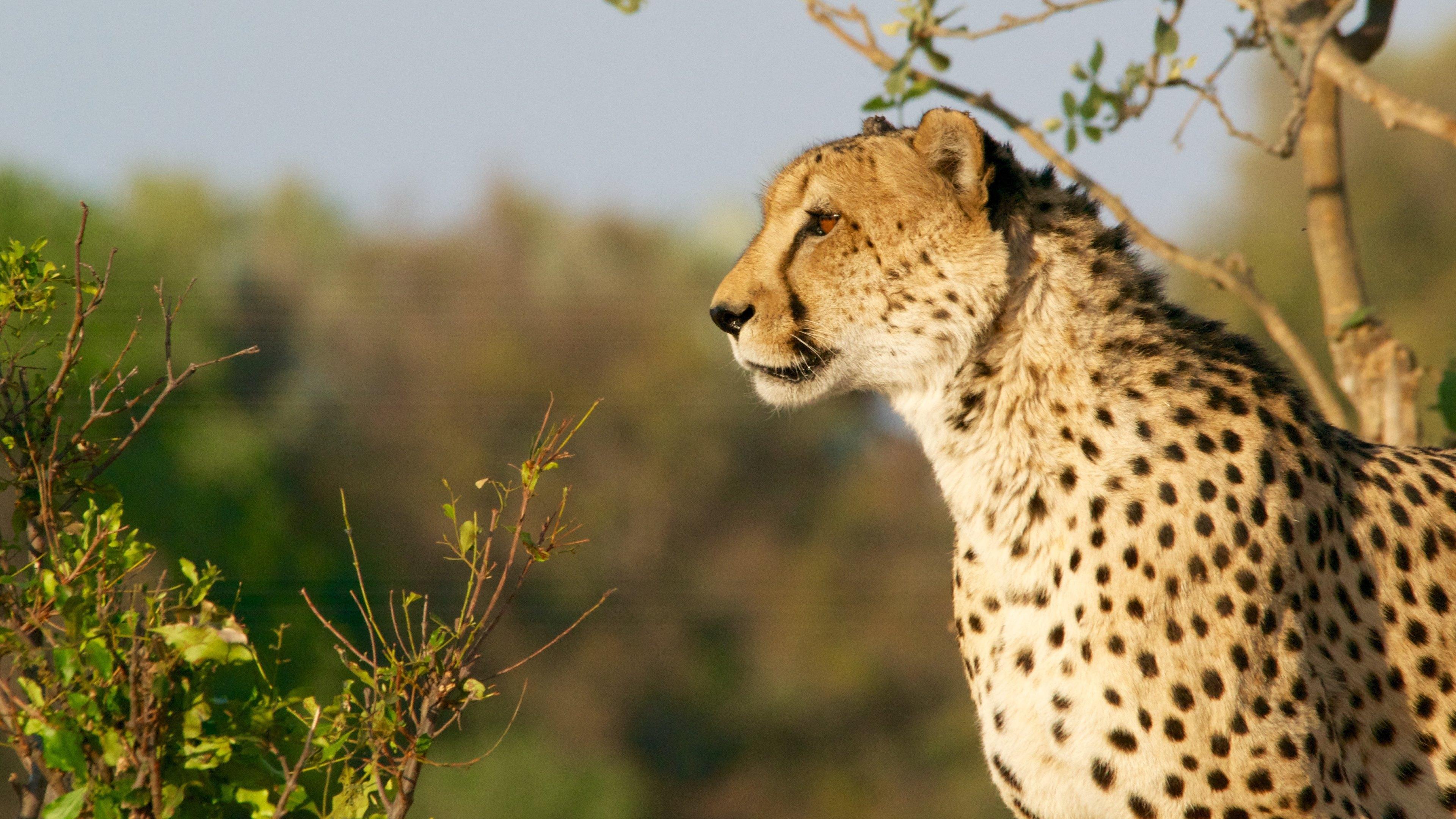 Cheetahs_in_wild_uhd