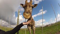 giraffe-house