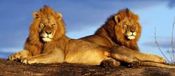 showcase-lions-colour