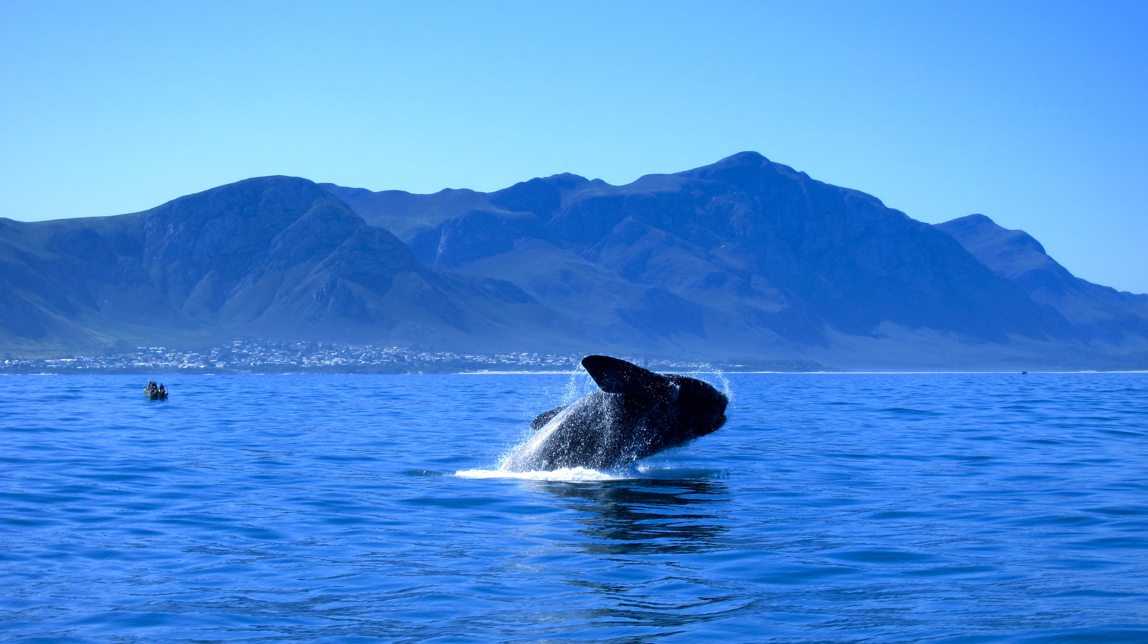 Hermanus-Whale-Watching-Xplorio-Hermanus