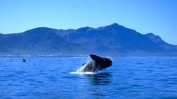 Hermanus-Whale-Watching-Xplorio-Hermanus