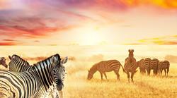 zebras_in_veld