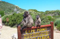 Baboons-at-Cape-Point-Photo-by-Mark-Somerville