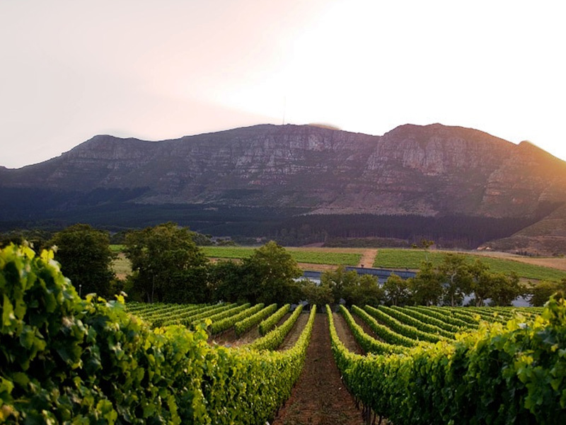 capetown-constantia-vineyard
