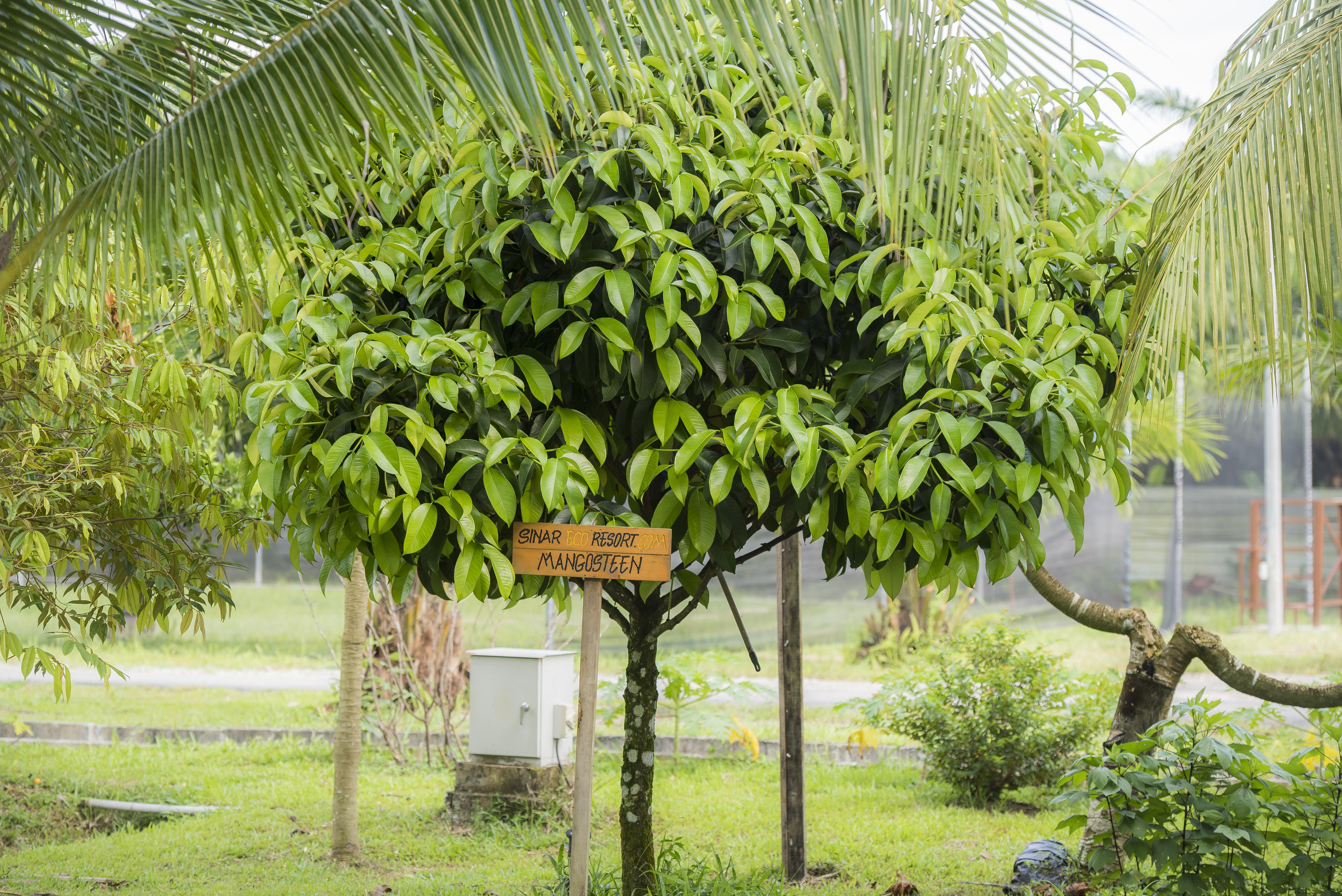 Mangosteen tree