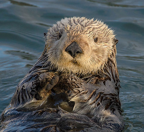 Sea_Otter_(Enhydra_lutris)_(25169790524)