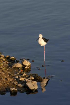 Black Winged Stilt, Standing on One Leg, Man Sagar Lake, Jaipur, India