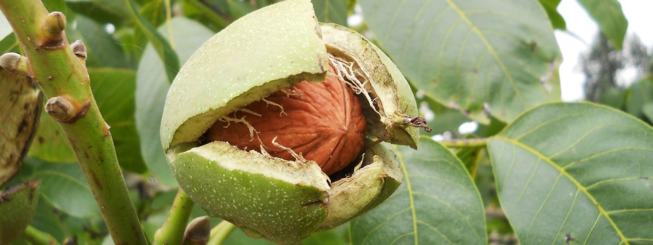 Stifanuts Chile Walnuts 1