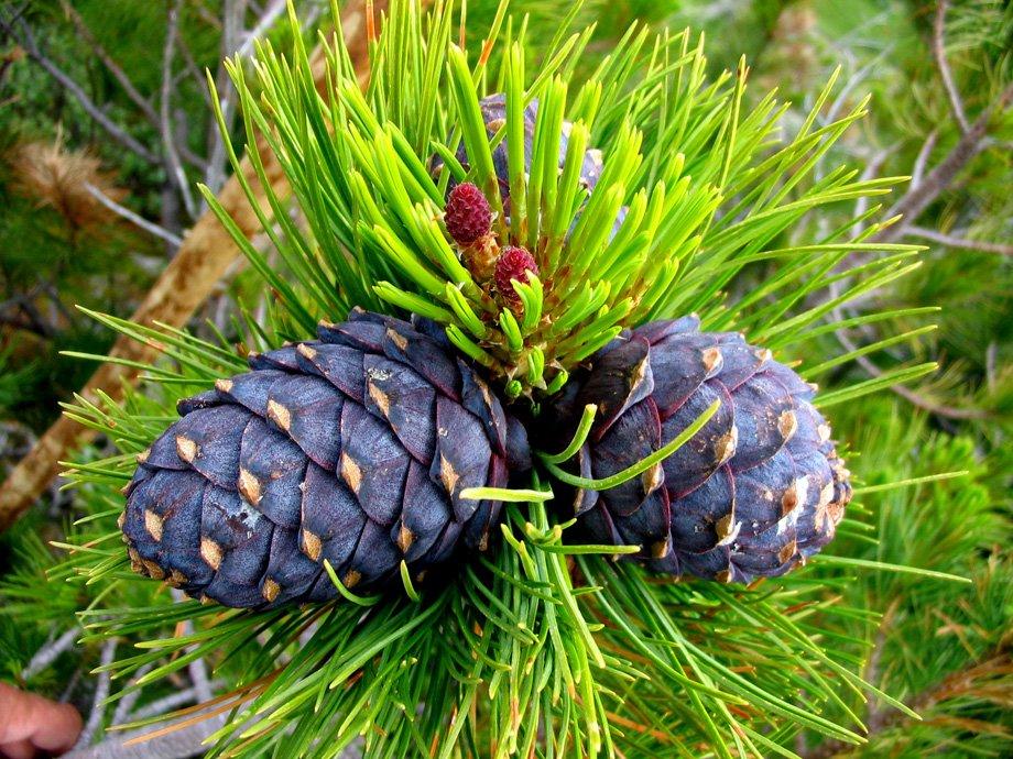 Stifanuts Siberian Pine Nuts 1