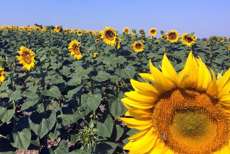 Stifanuts Ukraine Sunflower Seeds 1